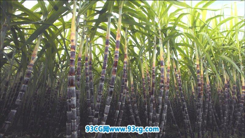 绿色生态农作物大片 大甘蔗林收割农民水牛农业生产实拍视频素材